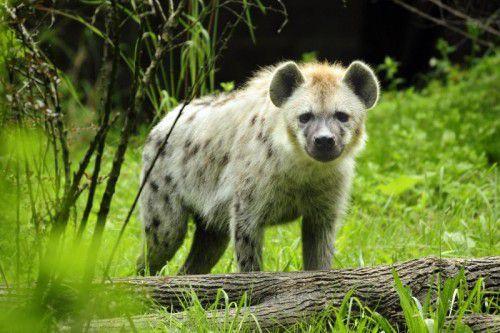 Eine Tüpfelhyäne: Die Tiere mit den charakteristischen kurzen Hinterbeinen jagen, fressen aber auch Aas.