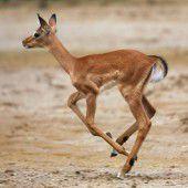 Nachwuchs bei den Impalas