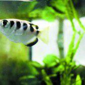Fische können Gesichter unterscheiden