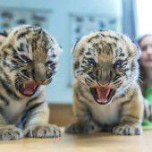 Zwei junge Tiger ganz aufgeregt