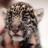 Neugieriges Raubkatzen-Baby