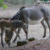 Zebra-Nachwuchs