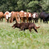 Wanderer flüchtet mit Hund vor Kuhherde auf einen Grat