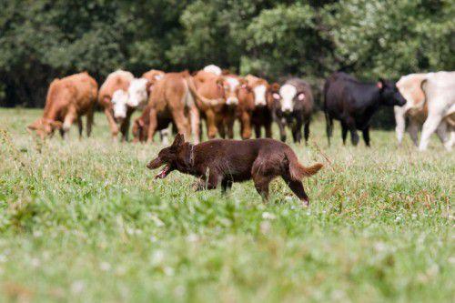 Hunde und Kühe – das verträgt sich auf der Alpe grundätzlich nicht, Mutterkühe bangen um ihre Kälber und könnten zum Angriff übergehen.