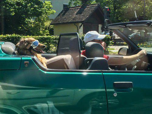 Kein Nagetier, aber ein Hund, der sich in Dornbirn für eine Cabriofahrt in Schale geworfen hat.