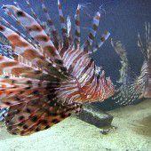 Giftfische breiten sich im Mittelmeer aus