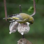Parasit setzt Grünfinken zu