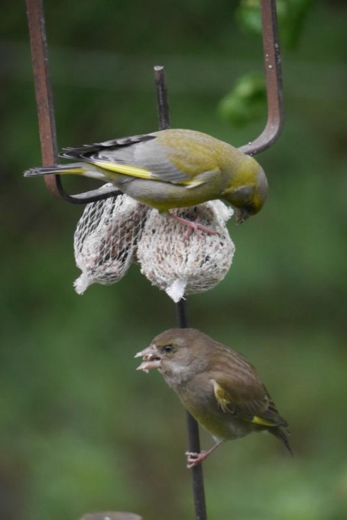 Dieses Grünfinken-Pärchen erfreut sich noch guter Gesundheit. Doch Schutz vor der Krankheit gibt es kaum.