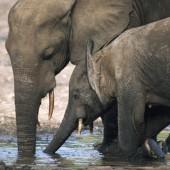 Zahl der Waldelefanten drastisch geschrumpft