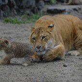Laufen lernen unter Mamas Blick