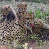 Fauler Nachmittag der Geparden