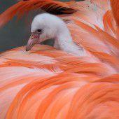 Kleiner grauer Flamingo