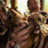 Kleine Tigerbrüder beim Raufen