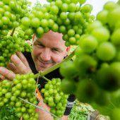 Trotz der Wetterkapriolen gedeihen die Weintrauben prächtig