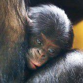 Kleiner Bonobo auf Kuschelkurs