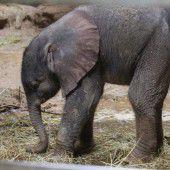 Nachwuchs bei den Elefanten