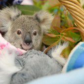 Kleine Koala-Waise