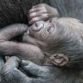 Gorillababy im Frankfurter Zoo geboren