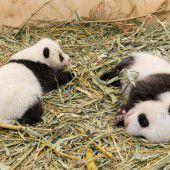 Pandas gedeihen prächtig