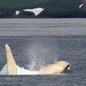 Forscher sichten sechs seltene Albino-Orcas