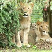 Löwe nach Ausbruch aus Gehege erschossen