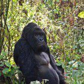 Östlicher Gorilla vom Aussterben bedroht