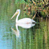 Ein seltener Gast am Bodensee