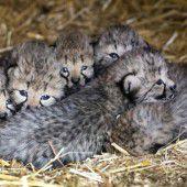 Süßer Gepardennachwuchs