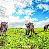 Kängurus und andere wilde Wesen
