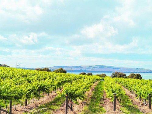 Auf sanften Hügeln In Küstennähe wird der Wein angebaut. Die besten Ergebnisse erzielen Cuvées aus Merlot und Cabernet Sauvignon.