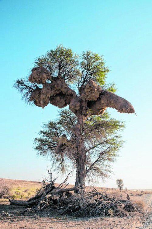 Bis zu 1000 Kilogramm kann das Nest der Siedelweber wiegen.