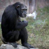 Rauchender Affe sorgt für Besucheransturm