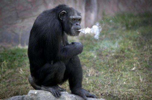 Das 19 Jahre alte Schimpansenweibchen Azalea pafft eine Schachtel Zigaretten am Tag. Foto: AP