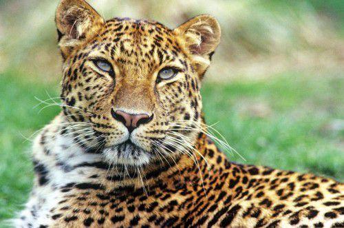 Der Amur-Leopard ist im Osten Russlands beheimatet und heute beinahe ausgestorben. Foto: APA