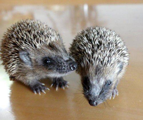 Derzeit bereiten sich die stacheligen Säugetiere auf den bevorstehenden Winterschlaf vor. Foto: Wildtierhilfe