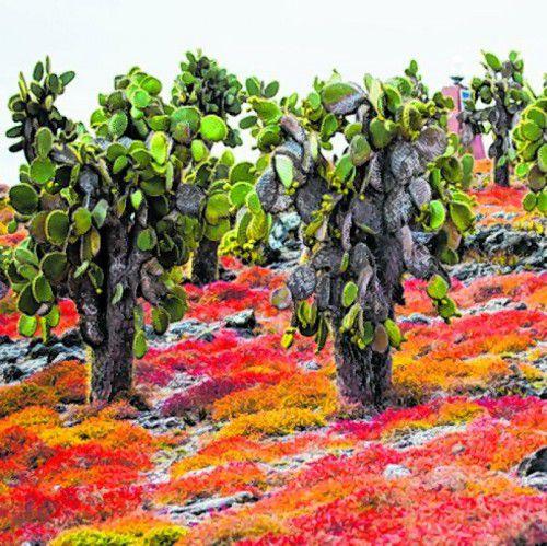 Die Opuntia-Kakteen werden bis zu zehn Meter hoch.