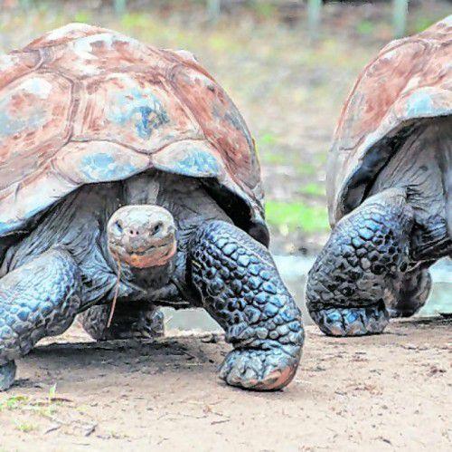 Die Schildkröten werden bis zu 340 Kilogramm schwer.