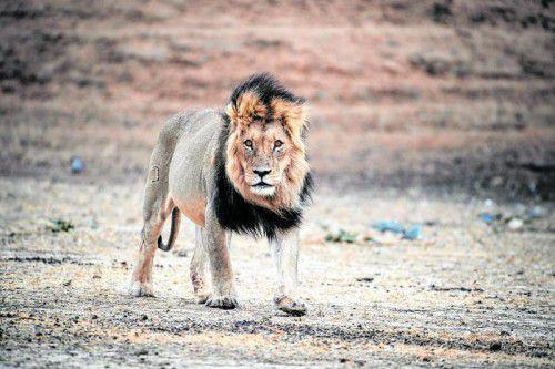 Die schwarze Mähne ist das Markenzeichen der Kalahari-Löwen.