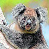 Eukalyptus für die Koalas