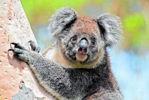 Etwa 15.000 Koalas leben auf Kangaroo Island.