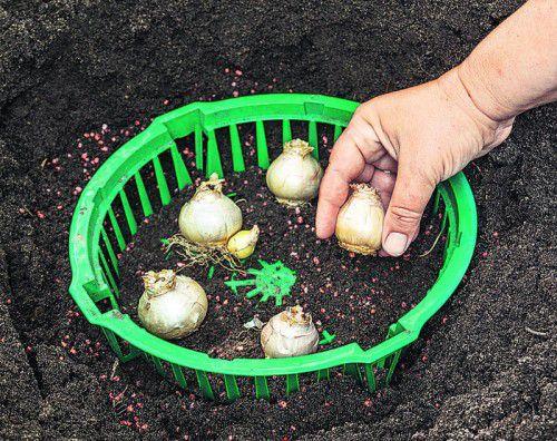In Pflanzenkörben lassen sich die Zwiebeln nicht nur gut platzieren, sie werden auch vor Wühlmäusen geschützt.