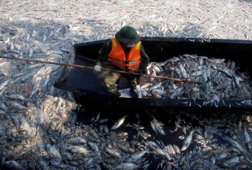 Massenweise tote Fische wurden angespült. Dutzende halfen, die stinkenden Tierkadaver zu entfernen. Foto: Reuters