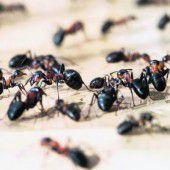 Pflanzen, düngen, ernten: Ameisen als Gärtner