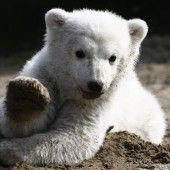 Eisbären-Zwillinge in Berlin sind wohlauf