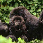 Hoffnungsschimmer für gefährdete Berggorillas
