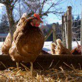 Entwarnung für 3000 Hühner