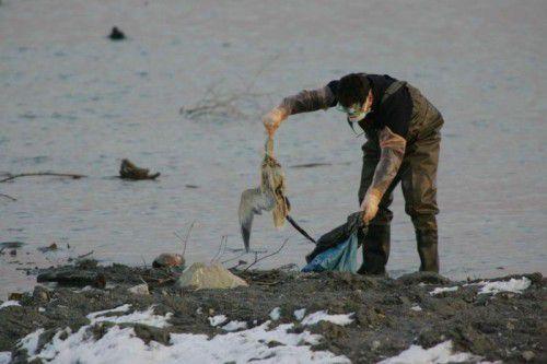 Seit Donnerstag sammeln Experten in Schutzkleidung am Bodenseeufer wie auf diesem Archivbild aus 2006 verendete Wildvögel ein. Allein im Rheindelta wurden bereits rund 100 tote Tiere entdeckt. VN-Archiv: BH