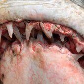Der Haifisch hat nicht nur Zähne, die ihn schützen
