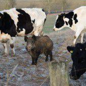 Johann wieder bei  Rinderherde