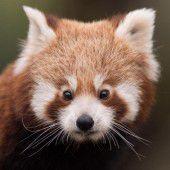 Nachwuchs bei den Roten Pandas